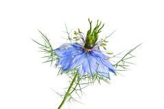 Nigella bleu (Nigella L sativa ) Photos stock