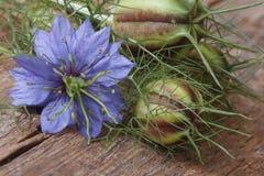 Nigella-Blume mit einem Knospenmakro auf einem Holztisch Stockbild
