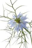 Nigella Blumenabschluß oben Stockbild