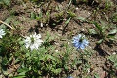 Nigella damascena蓝色和白色2朵花  库存图片
