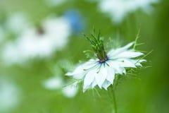 Nigella damascena,狂放的茴香 免版税库存照片