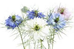 Nigella damascena花 库存图片