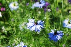 Nigella damascena. (aka Love-in-a-mist Royalty Free Stock Photo