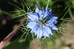Nigella damascena 图库摄影