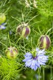 Nigella Damascena Czerwiec kwiat i głowy tekstury tło fotografia royalty free