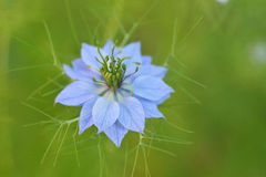 Nigella Stock Photography