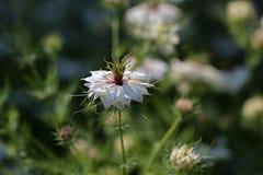 Nigella damascena. /  Garden flower escape Stock Photos