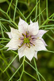 Nigella damascena, white flower star. Macro. Stock Images
