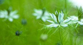Nigella damascena, wild fennel Stock Images