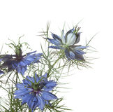 Nigella damasceny kwiaty Obrazy Royalty Free