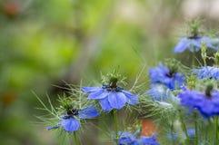 Nigella damasceny wczesnego lata kwiatonośna roślina z różnymi cieniami błękit kwitnie na małym zielonym krzaku, ornamentacyjny o Fotografia Royalty Free