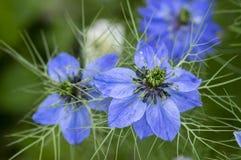 Nigella damasceny wczesnego lata kwiatonośna roślina z różnymi cieniami błękit kwitnie na małym zielonym krzaku, ornamentacyjny o Zdjęcia Stock