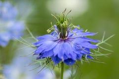 Nigella damasceny wczesnego lata kwiatonośna roślina z różnymi cieniami błękit kwitnie na małym zielonym krzaku, ornamentacyjny o Obrazy Royalty Free