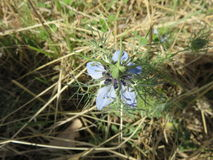 Nigella damigella. One of the strangest flowers I have ever seen but among the most elegant perhaps it is from here its name so personalized Stock Image
