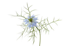 Nigella flower Stock Images
