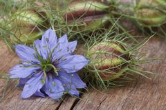 Nigella flower with a bud on the wooden table closeup Royalty Free Stock Images