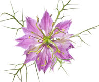 Nigella flower in detail Stock Photo