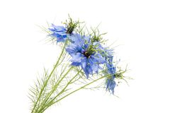 Nigella flowers isolated. On a white background Stock Photo
