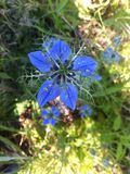 Nigella kwiat Fotografia Royalty Free