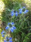 Nigella kwiaty Zdjęcie Stock