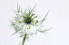 Nigella - Love in a Mist Royalty Free Stock Photos
