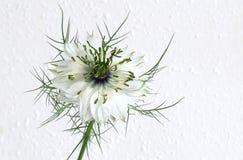Nigella - Love in a Mist. A single bloom of the cottage garden flower Love in a Mist - Nigella Royalty Free Stock Photos