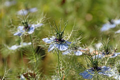 Nigella love in a mist blooms. Photo of nigella love in a mist plants growing tall in the summer sun with flowers in full bloom Royalty Free Stock Images
