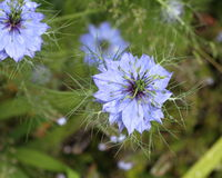 Nigella, Love in the mist Stock Images
