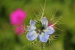 Nigella love in a mist flower Royalty Free Stock Photos