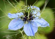 Nigella (Love in a Mist) flower. Macro of a nigella (Love in a Mist) flower head Stock Image