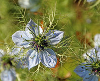 Nigella love in a mist plant Royalty Free Stock Photos