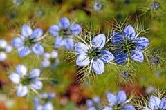 Nigella plant Royalty Free Stock Photo