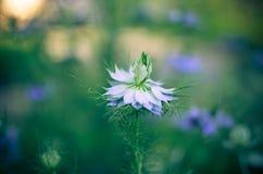 Nigella sativa - цветки природы голубые и белые стоковые фото