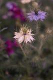 Nigella sativa - fleurs bleues et blanches de nature Images libres de droits