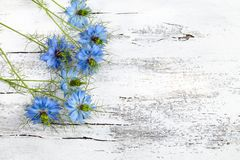 Nigella Sativa flower on white wooden background.Inflorescence o Stock Photography