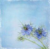 Nigella sativa flowers -  blue garden flower, plant. Stock Photo