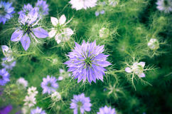 Nigella sativa - nature blue and white flowers Royalty Free Stock Images
