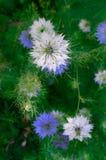 Nigella sativa - nature blue and white flowers Stock Photo