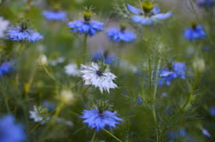 Nigella sativa - nature blue and white flowers Stock Image