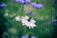 Nigella sativa - nature blue and white flowers Stock Photos