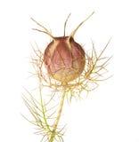 Nigella seed Royalty Free Stock Image