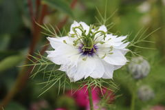Nigella. White cloudy flower looking like a ghost, spiny Stock Photography