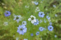 Nigellas. Nigella Damascena (Love in a mist) flowers in bloom Stock Image