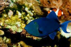 Niger ou Triggerfish dentado vermelho Fotos de Stock Royalty Free