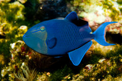 Niger or Red Toothed Triggerfish. (Odonus niger) in Aquarium Royalty Free Stock Photography