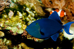Niger or Red Toothed Triggerfish Royalty Free Stock Photos