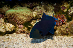 Niger or Red Toothed Triggerfish Stock Photography