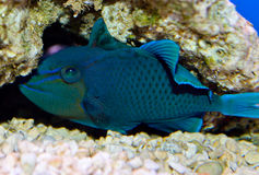 Niger Triggerfish Photo stock
