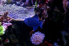 Niger Triggerfish - Odonus Niger Royaltyfri Bild