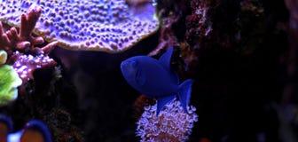 Niger Triggerfish - Odonus Niger Fotografering för Bildbyråer